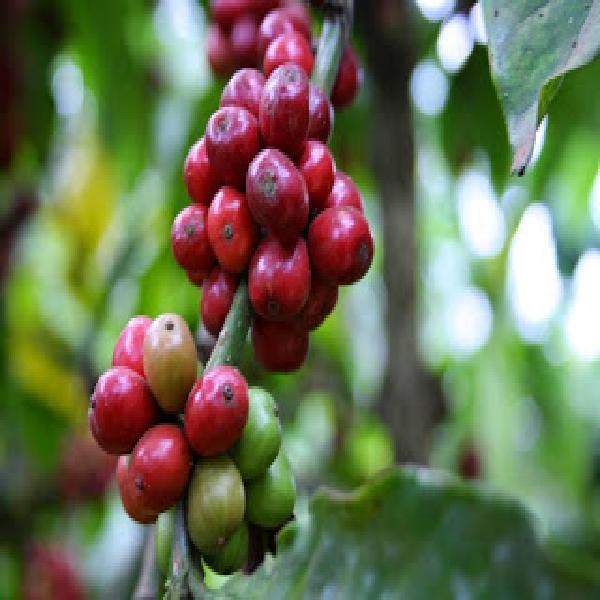 Giá cà phê Tây Nguyên ngày 16/09/2017 vẫn ở mức 42,6 - 43,4 triệu đồng/tấn