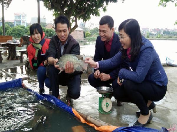 """Nuôi cá rô phi VietGAP: Dễ làm, lãi cao, thị trường """"màu mỡ"""""""