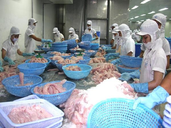 Kỷ lục: Giá cá tra lên tới 30.000 đồng/kg, nông dân lãi khá