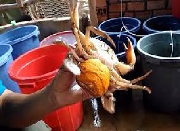 Quảng Bình: Tiềm năng nuôi cua trứng thương phẩm