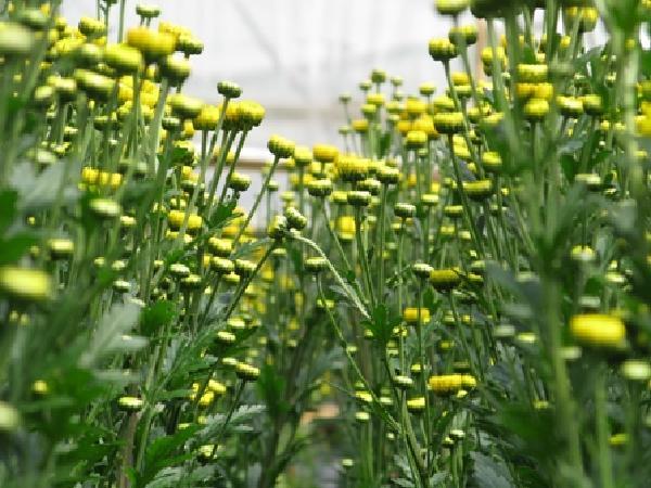 CS-Quy trình kỹ thuật trồng các loại hoa cúc