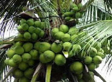 Trồng dừa Mã Lai cho thu nhập gấp 3 lần trồng lúa