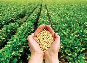 Kinh nghiệm trồng đậu tương trên đất ướt