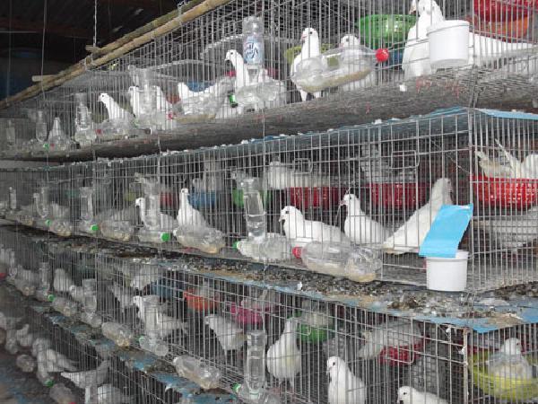 N-Kỹ thuật nuôi chim bồ câu thả vườn.