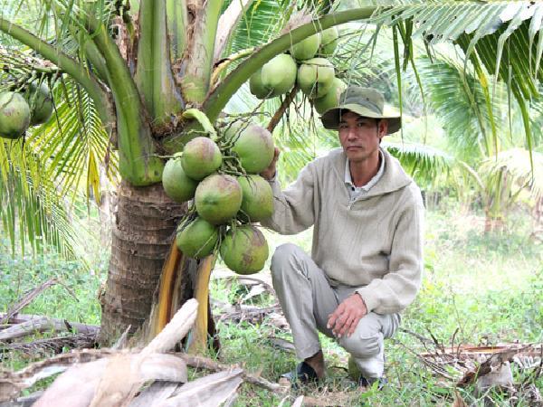 Trồng vườn dừa thơm mùi lá dứa, cứ đếm trái mà thu tiền