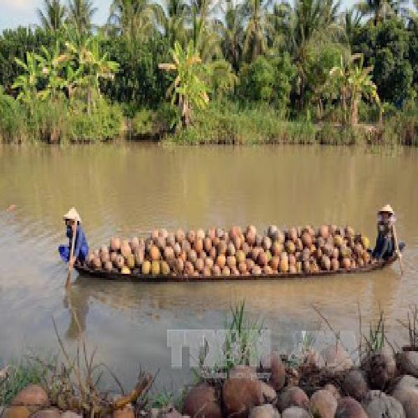 Giá dừa khô ở Trà Vinh tăng cao kỷ lục