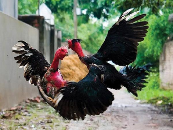 N-Chăm sóc, tẩm bổ dinh dưỡng cho gà chọi, gà nòi