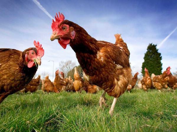Mô hình nuôi gà thịt an toàn sinh học trên đệm lót: Giải quyết bài toán môi trường, tăng hiệu quả sản xuất