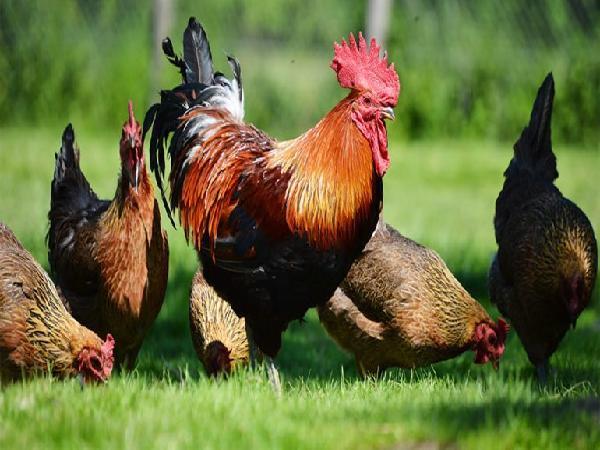 Hạch toán hiệu quả kinh kinh tế và chi phí trong chăn nuôi gà thả vườn