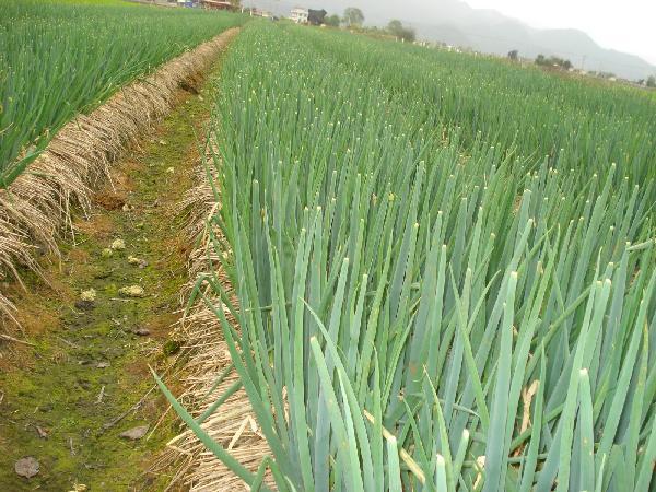 Kính nể nơi trồng hành lá thu 21 tỷ đồng/năm