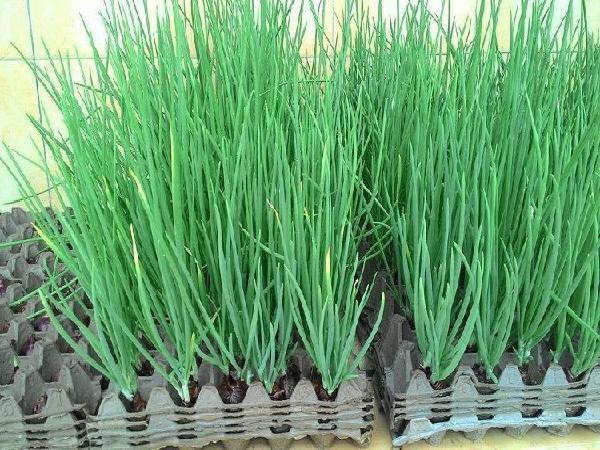 CS-Mẹo trồng hành lá cực nhanh mà không cần đất