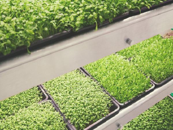 Mô hình thủy canh trong nhà của Ikea giúp cây xanh phát triển nhanh gấp 3 lần trồng ngoài vườn