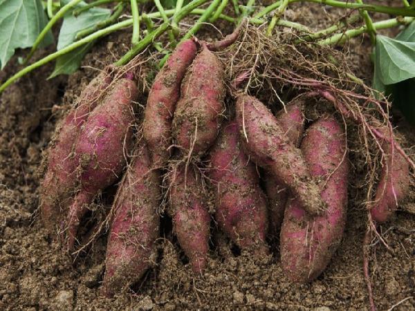 CS-Kỹ thuật trồng và chăm sóc khoai lang cho nhiều củ