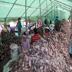 Khoai lang giảm giá hơn 50%, nông dân Hòn Đất lỗ nặng