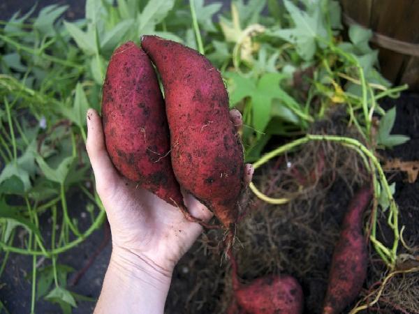 CS-Hướng dẫn kinh nghiệm trồng khoai lang lấy củ