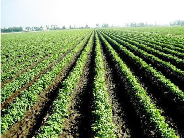 CS-Kỹ thuật trồng và chăm sóc khoai lang Nhật