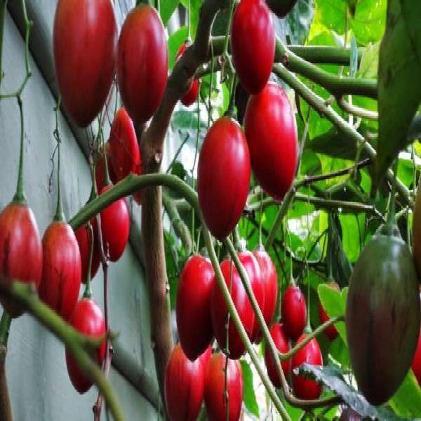 Kỹ thuật trồng và chăm sóc cây cà chua thân gỗ
