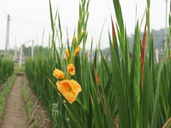 CS-Một số giống hoa lay ơn trồng phổ biến
