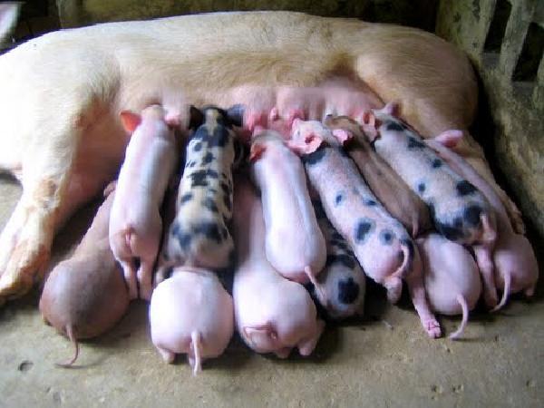 N-Kỹ thuật chăm sóc lợn con sau sinh