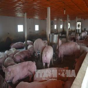 Đồng Nai: Giá lợn giảm do nguồn cung dư thừa