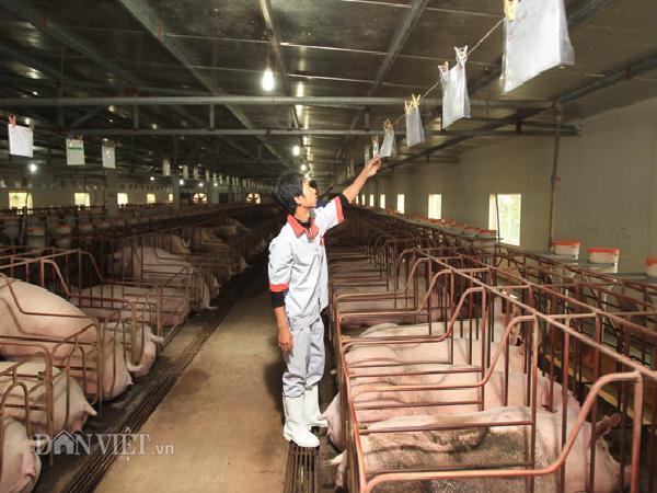 Giá lợn (heo) hôm nay 14.11 giảm nhẹ 500 đ/kg, lái buôn vẫn mua đều; dự báo giá gà ta cuối năm tăng cao?