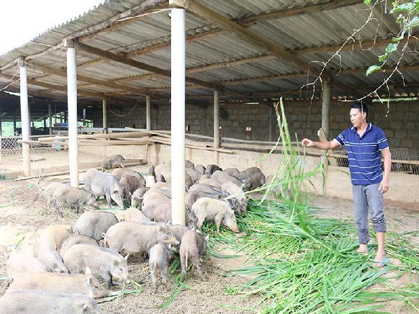 Thu nhập cao từ trang trại nuôi lợn rừng
