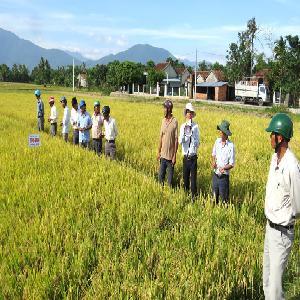 Tuyển chọn giống lúa thuần từ nguồn gen lúa siêu xanh