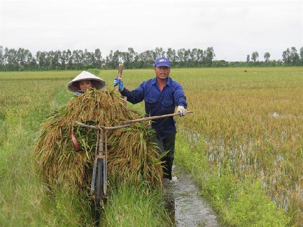 Cần chuyển đổi lúa mùa ở Đồng bằng sông Hồng