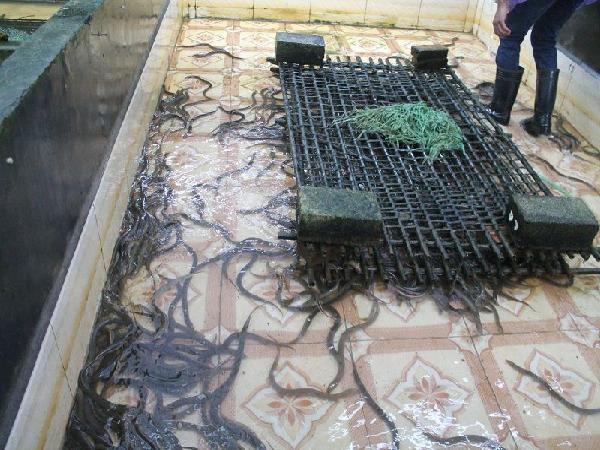 NT-Mô hình và Kỹ thuật nuôi lươn không bùn trong bể xi măng