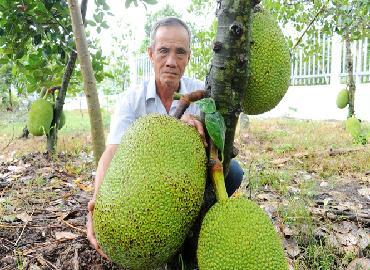 Giá mít Thái tăng vọt 30.000 đ/kg tại vườn, lại lo dân đổ xô trồng