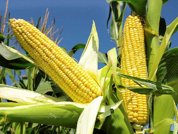 Nông dân hào hứng với ngô biến đổi gen