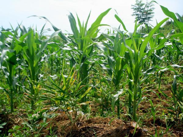 CS-Kỹ thuật trồng ngô cho vụ mùa bội thu