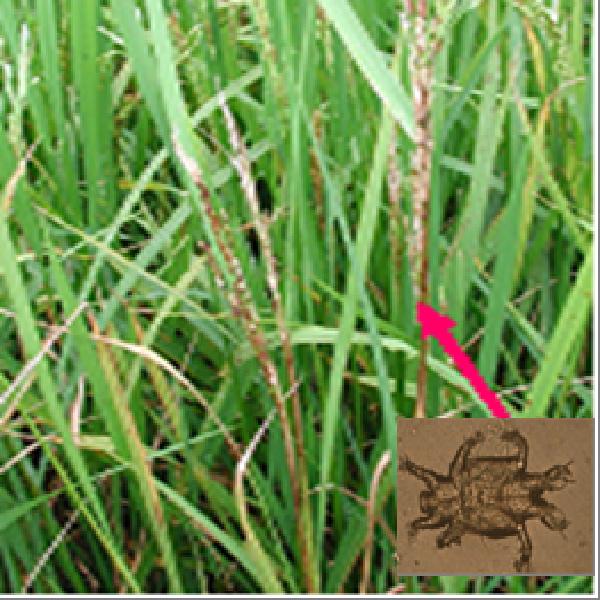 Phòng trừ nhện gié hại lúa