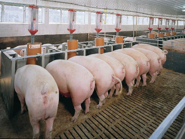 4 nguyên tắc cơ bản trong công tác phòng chống dịch bệnh tại trại nuôi lợn