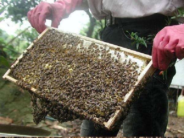 CB-Một số bệnh thường gặp ở ong và cách điều trị