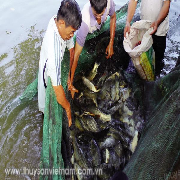 Quy trình nuôi cá chép V1