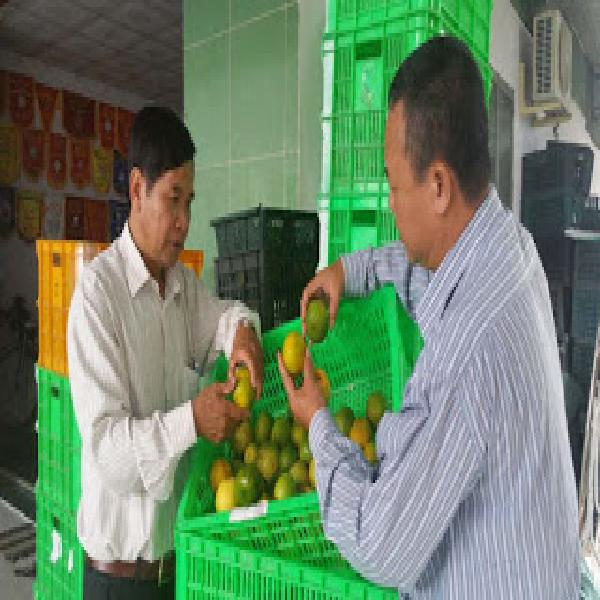 Thành công với mô hình trồng quýt đường