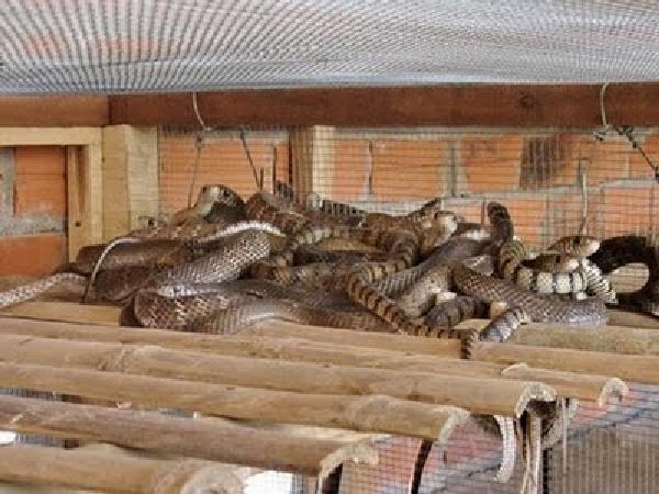 N-Kỹ thuật nuôi rắn ráo trâu (hổ trâu)
