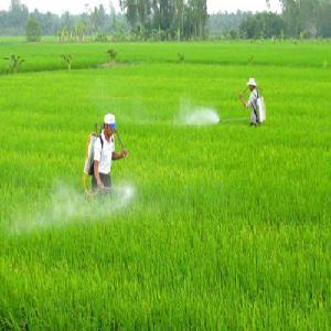 Sâu bệnh gây hại lớn cho vụ lúa mùa