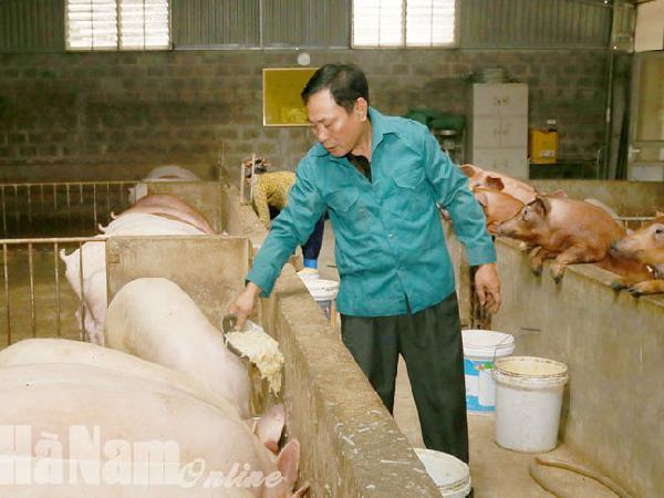 Chăm lợn bằng thảo dược, 1 năm mới được 1 lứa nhưng không lo rớt giá