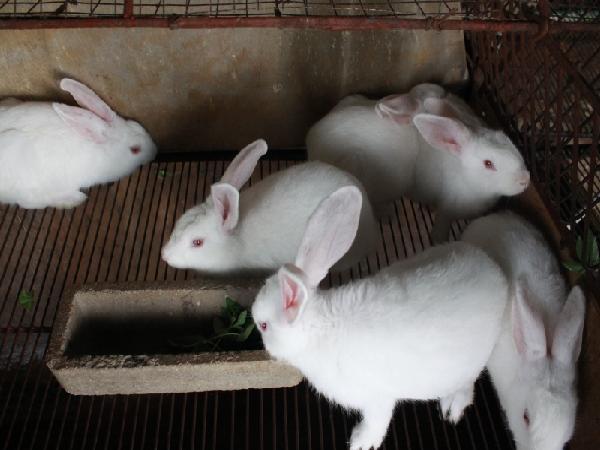 N-Kỹ thuật nuôi thỏ thịt tại nhà