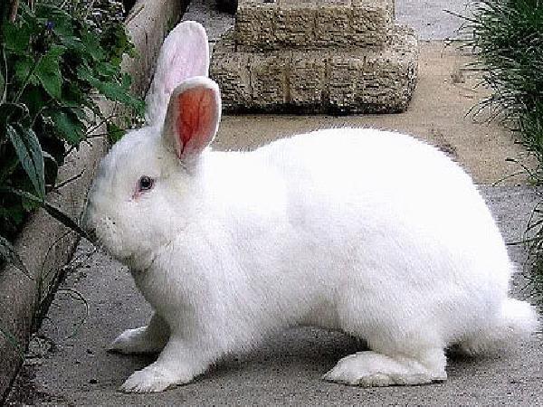 N-Kỹ thuật nuôi thỏ cái sinh sản