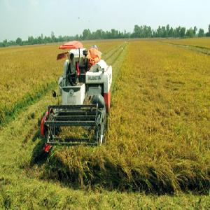 Giá lúa tăng nông dân thu lãi gần 20 triệu đồng 1 ha