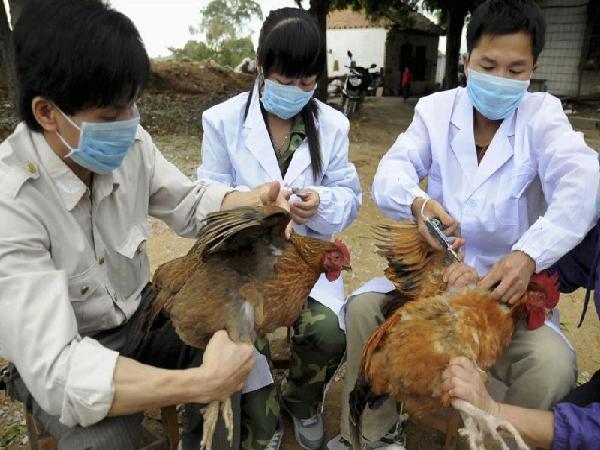 CB-Lịch tiêm phòng cho gà thả vườn. Cách phòng bệnh cho đàn gà thả vườn