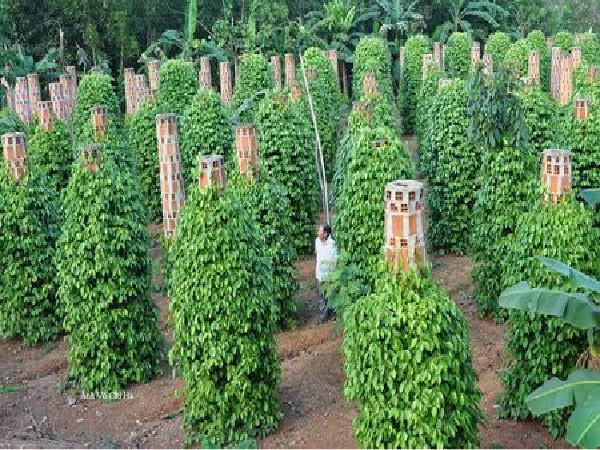 Cây hồ tiêu – yêu cầu kỹ thuật trồng, chăm sóc và thu hoạch