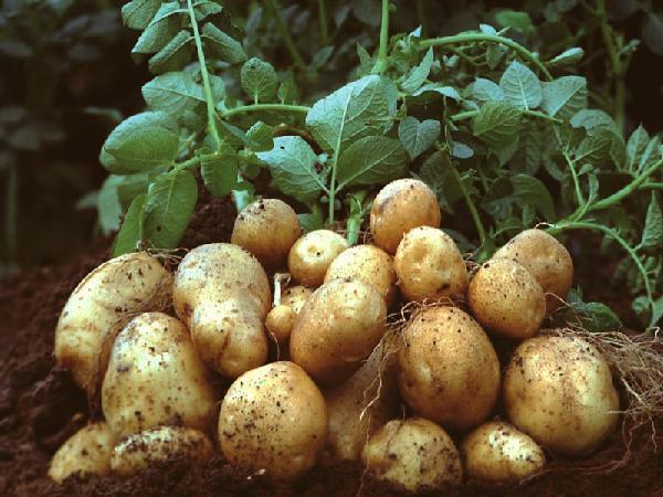SB-Kỹ thuật trồng khoai tây tại nhà cho củ sai, ít sâu bệnh