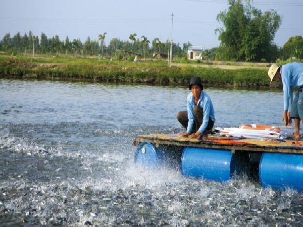 NT-Quy trình kỹ thuật nuôi cá tra ở miền bắc