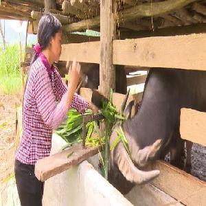 Tuyên Quang: Xã Bình An phát triển nuôi trâu, bò vỗ béo theo phương thức nuôi nhốt