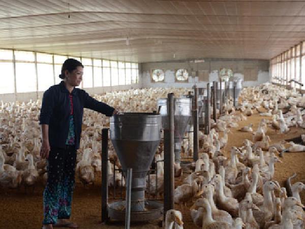N-Kỹ Thuật Nuôi Vịt Thịt Theo Hướng Công Nghiệp