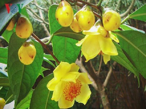 Hội trà hoa vàng được tổ chức tại huyện miền núi Ba Chẽ, Quảng Ninh